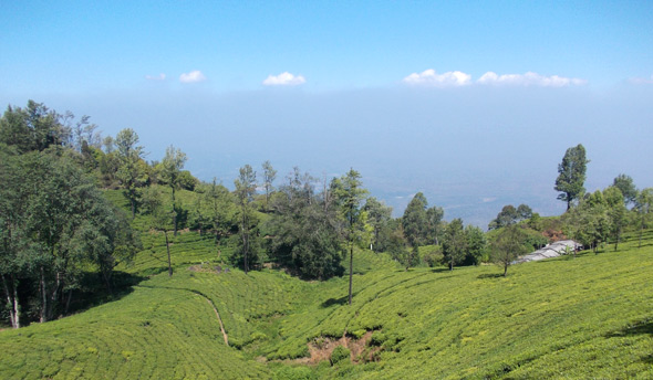 Plantations de thé, Ooty